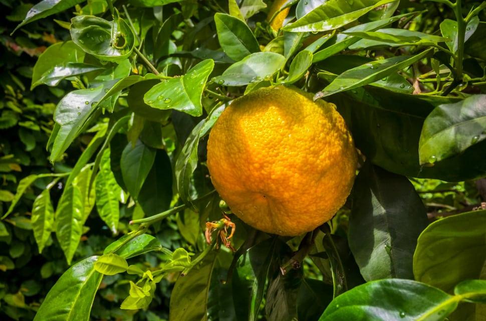 Orangenbäume im Dresdner Zwinger